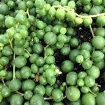"""Buy online String of Pearls, Senecio Rowleyanus, easy to grow in a 4"""" Pot"""
