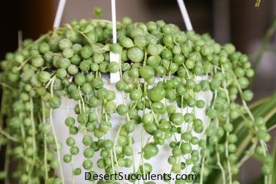 Senecio rowleyanus, String of Pearls, String of Beads, Rosary Plant, Bead Plant