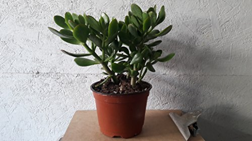 Jade Plant – Potted Crassula Ovata – Easy to Grow