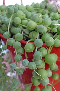 How to fertilize string of pearls.