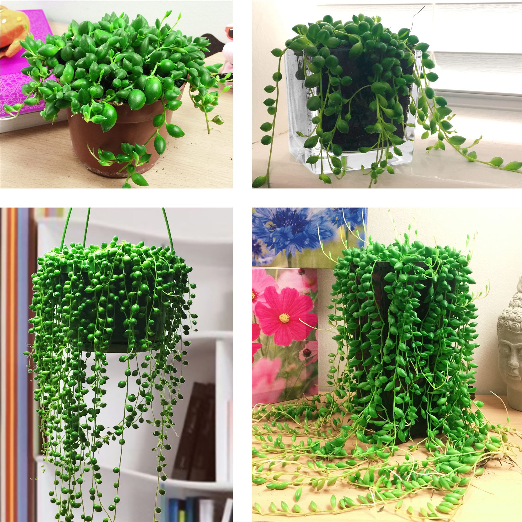 Grow a String of Pearls in a Garden